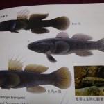 『日本魚類館』のチチブ類