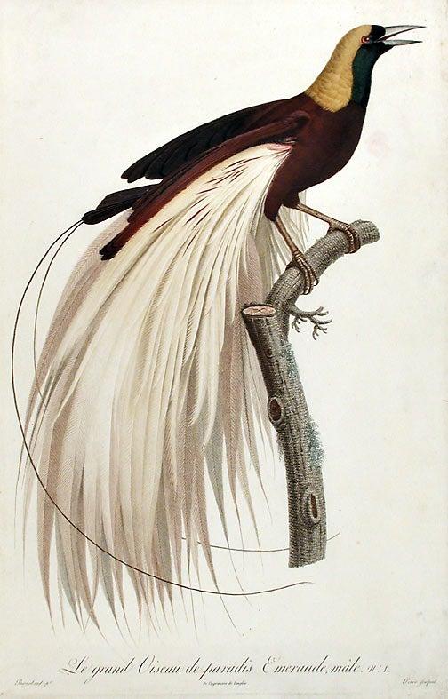 76 idées de OISEAUX DE PARADIS | oiseaux, oiseaux