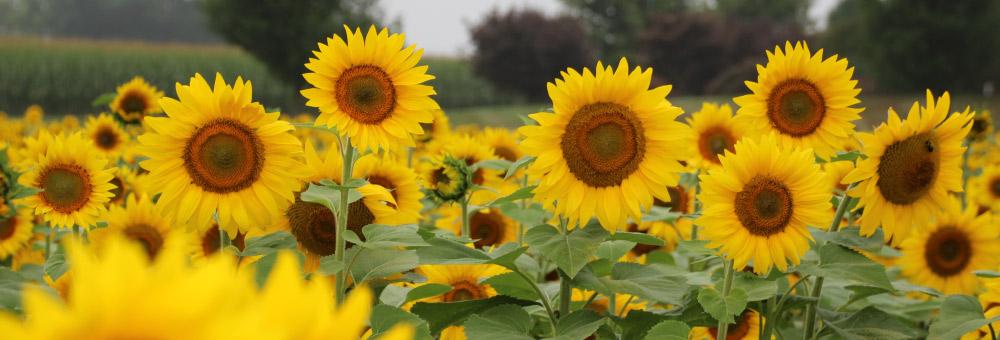 Fall Sunflowers Wallpaper Pick N Paint Sunflower Tour Donaldson Farms
