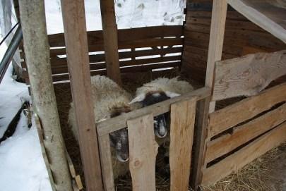 あかり農場さんの羊