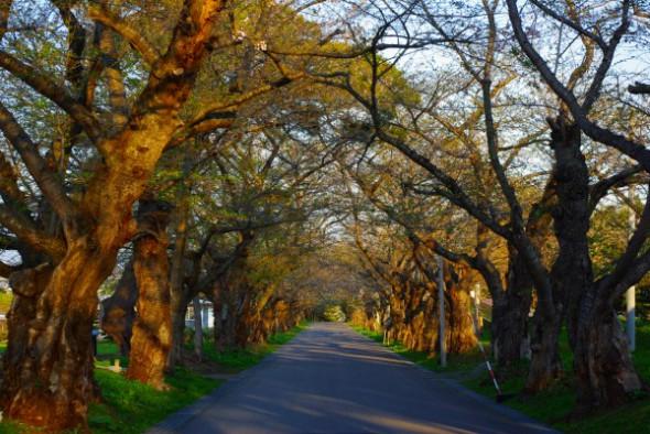 戸切地陣屋跡桜並木