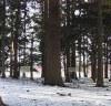 文月神社の杉