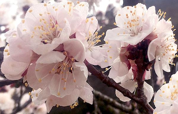 Marillenblüten in der Wachau im März 2019