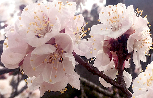 Apricot flowers in the Wachau in March 2019