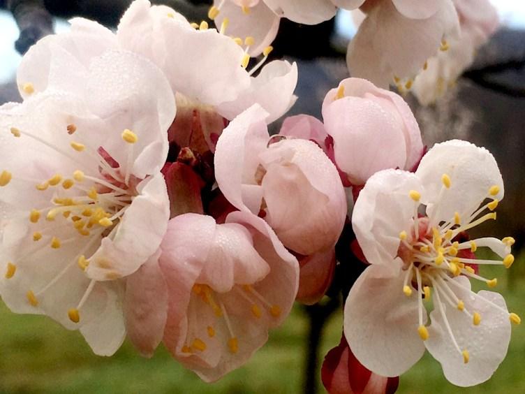 Marillenblüte in der Wachau am 17. März 2019