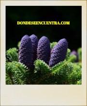 ¿Dónde se halla el polen y óvulos en las coníferas?