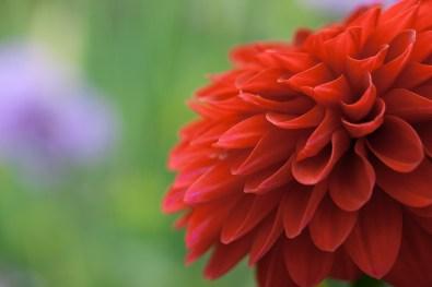 dahlia - image by Deb Fletcher