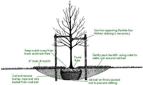 horsetail plant diagram 1972 toyota fj40 wiring tree planting peter donegan landscaping and garden design