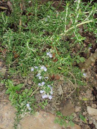 rosmary-in-flower
