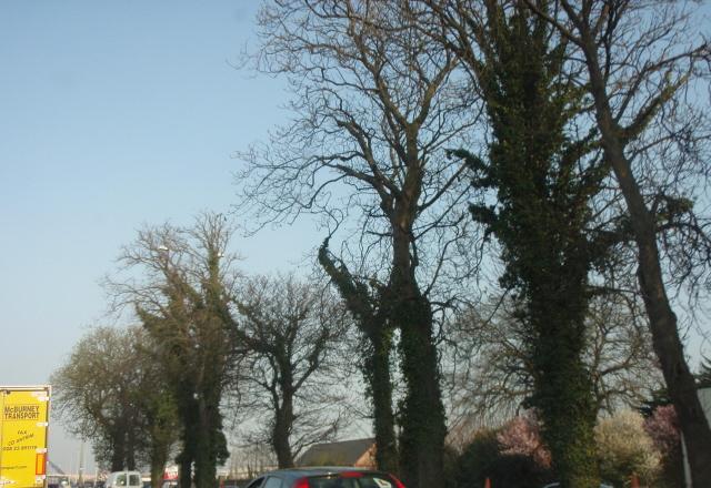 naas road trees