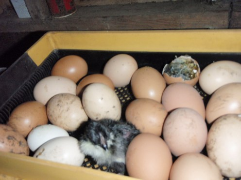 chickens hatching from eggs