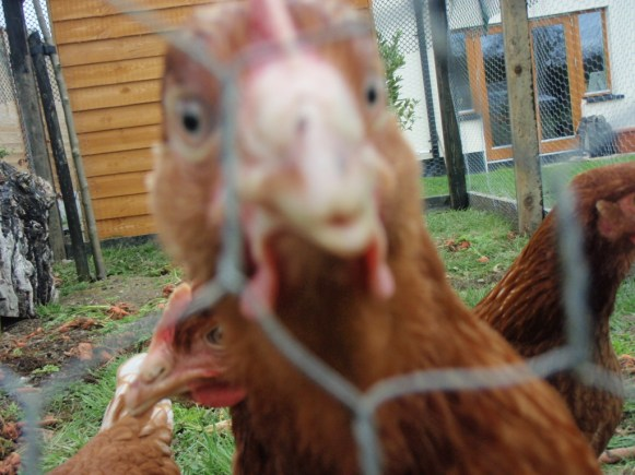 hens images