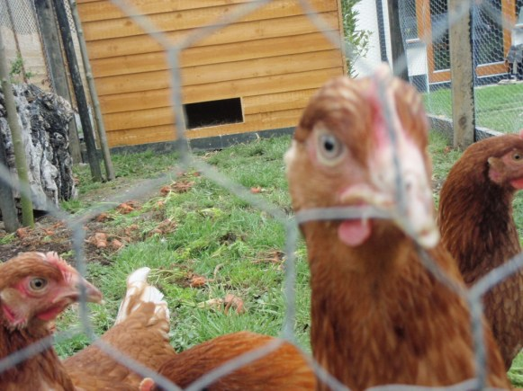 hens outdoors