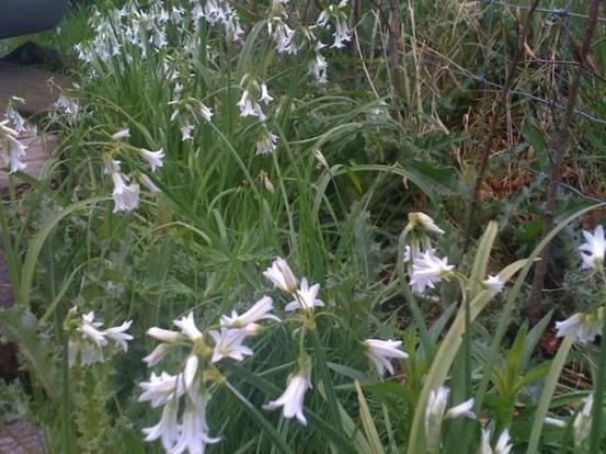 wild garlic allium triquetrum