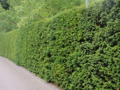 taxus-bacata-yew hedge