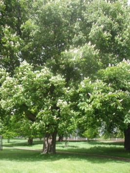 aesculus-hippocastanum-horse chestnut