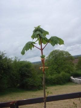 horse-chestnut-1