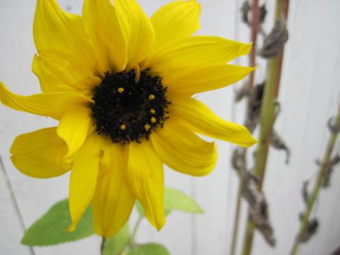 helianthus-sunflower-3