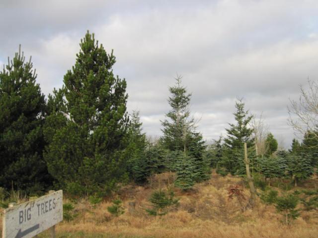 christmas-tree-farm-1