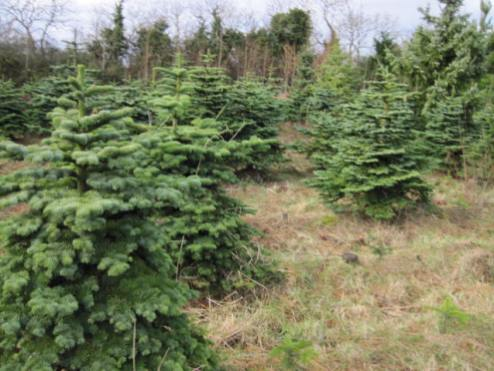 christmas-tree-farm-20
