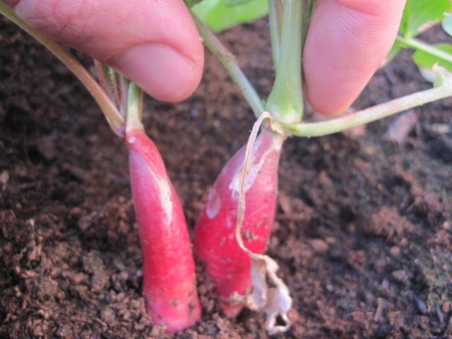 radish (1)