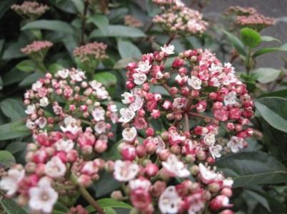 viburnum tinus