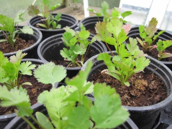 coriander (1)