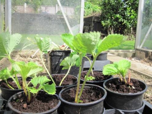 strawberry plant (4)