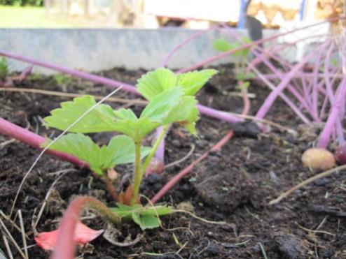 strawberry plant (7)