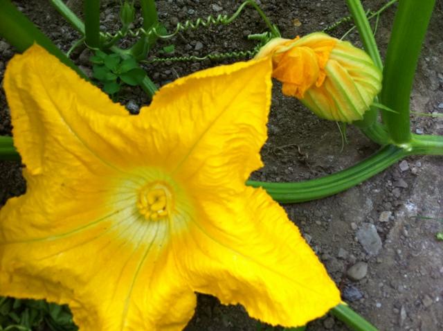 pumpkin female flower (1)