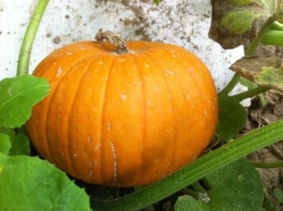 pumpkin fruit (1)
