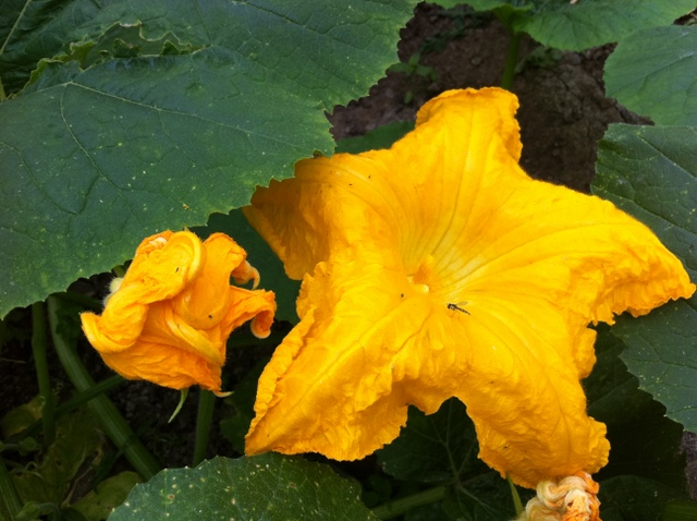 pumpkin male flower