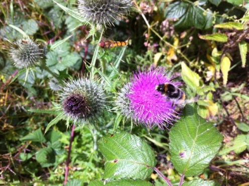 thistle flower bee
