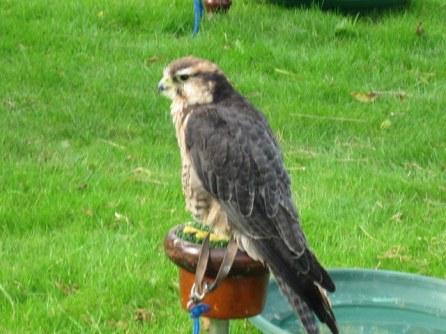 newgrange falconry - spirit of folk 2011 (21)