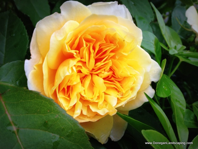 rose, lucan park