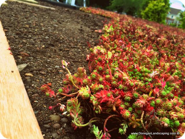 Sedum Green Roof Peter Donegan Landscaping Dublin