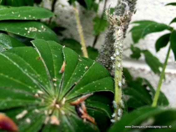 lupin aphid, Macrosiphum albifrons