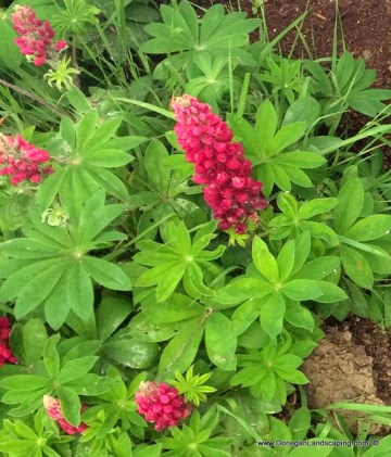 lupin, aphid