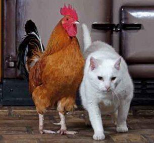 Cerita Rakyat Fabel Nusantara Kucing di Kandang Ayam