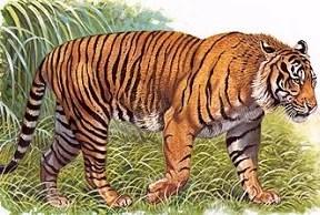 Dongeng anak paud harimau sedang mencari sapi