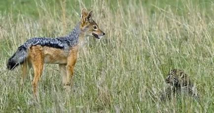 Kumpulan Dongeng Tentang Hewan Serigala dan Macan Tutul