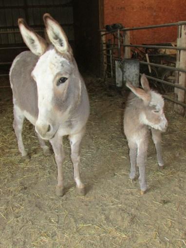 donkeys 003
