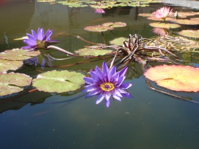 Purple Pond Lily