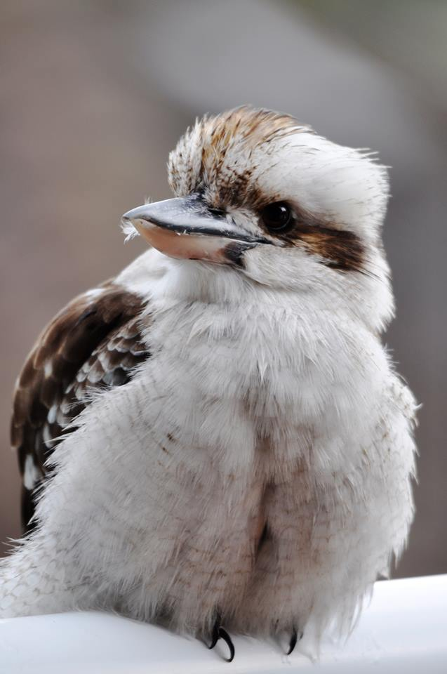 Cute Cat For Wallpaper Baby Kookaburra Bird