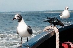 Seagull, ferry, water