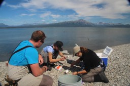 Sampling Iliamna Lake harbor seal haulouts.