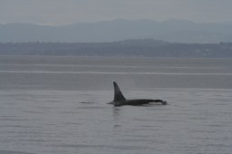 Southern Resident killer whale in Haro Strait, WA.