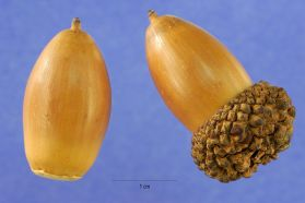White Oak (Quercus alba) acorns