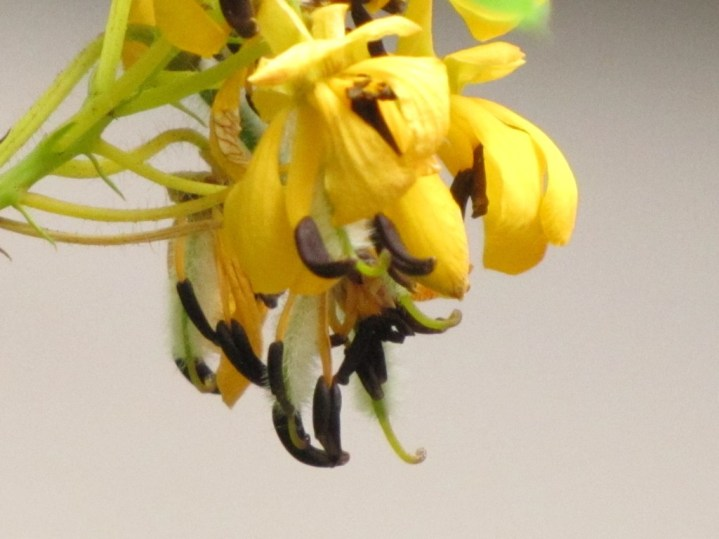 Wild Senna (Cassia hebecarpa). Photo by Donna Long.