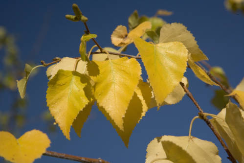 Yellow Birch tree leaves (Betula neoalaskana) in autumn.